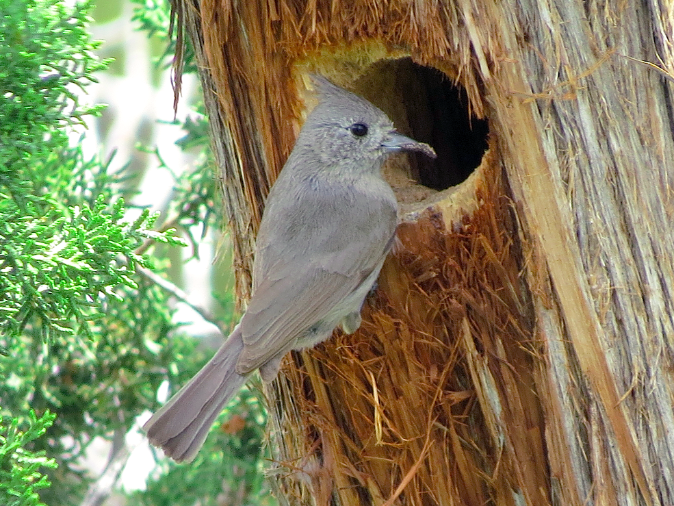 Juniper Titmouse - Ted Floyd