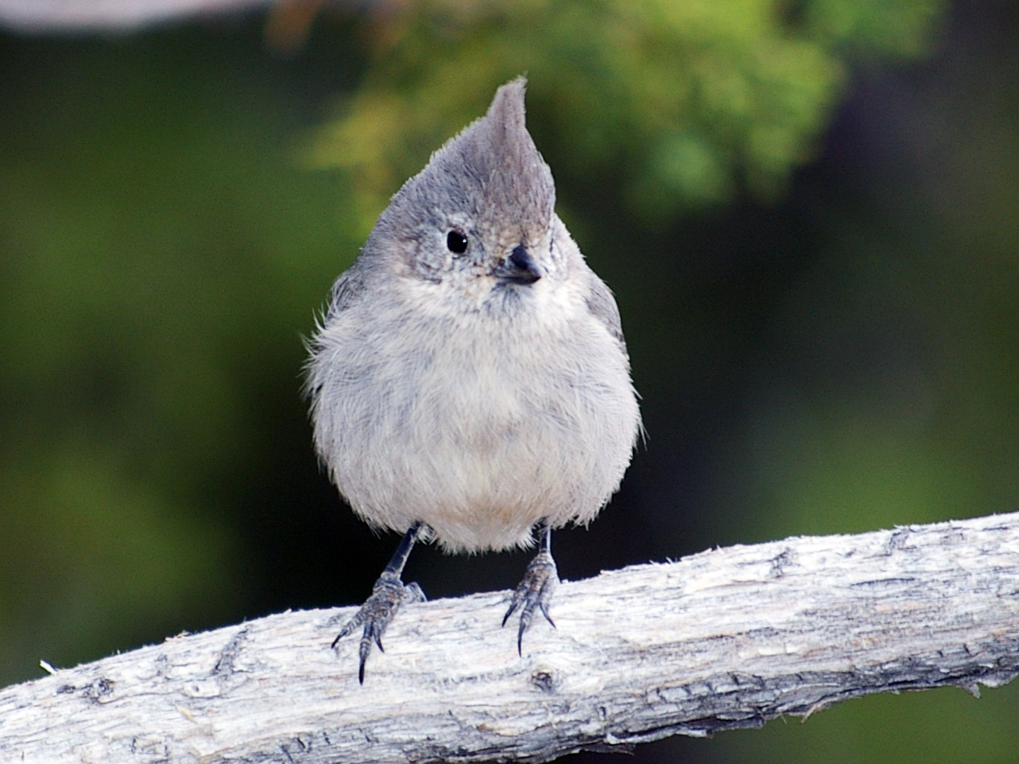 Juniper Titmouse - Caleb Hawley