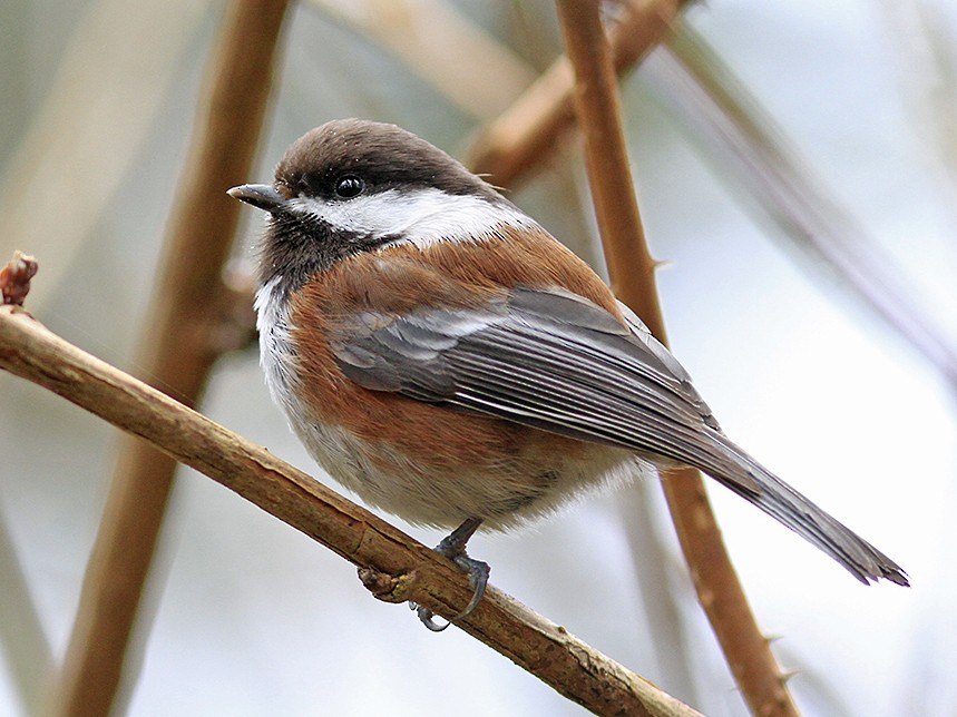 Chestnut-backed Chickadee - Marie O'Shaughnessy