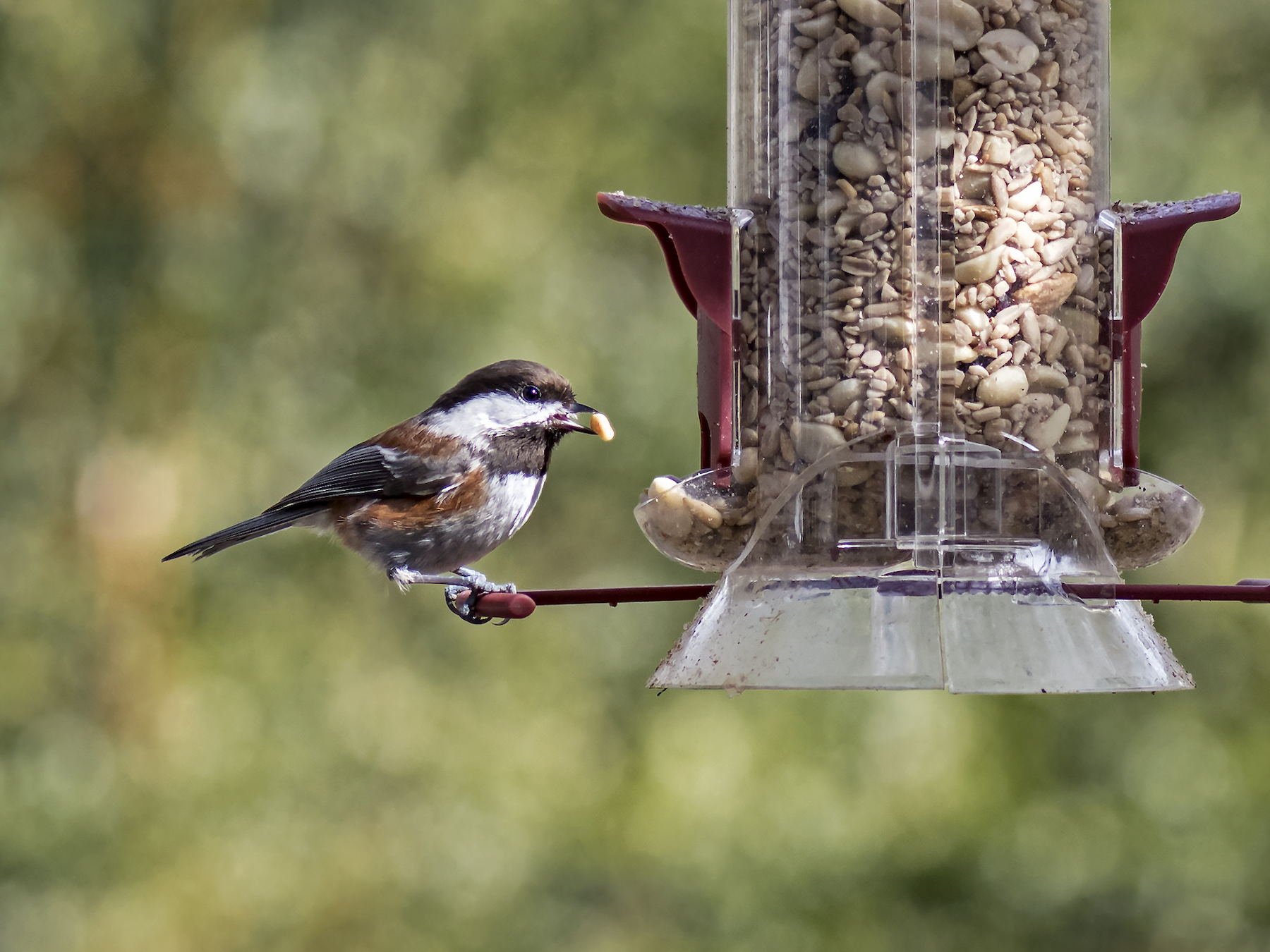 Chestnut-backed Chickadee - David Badke