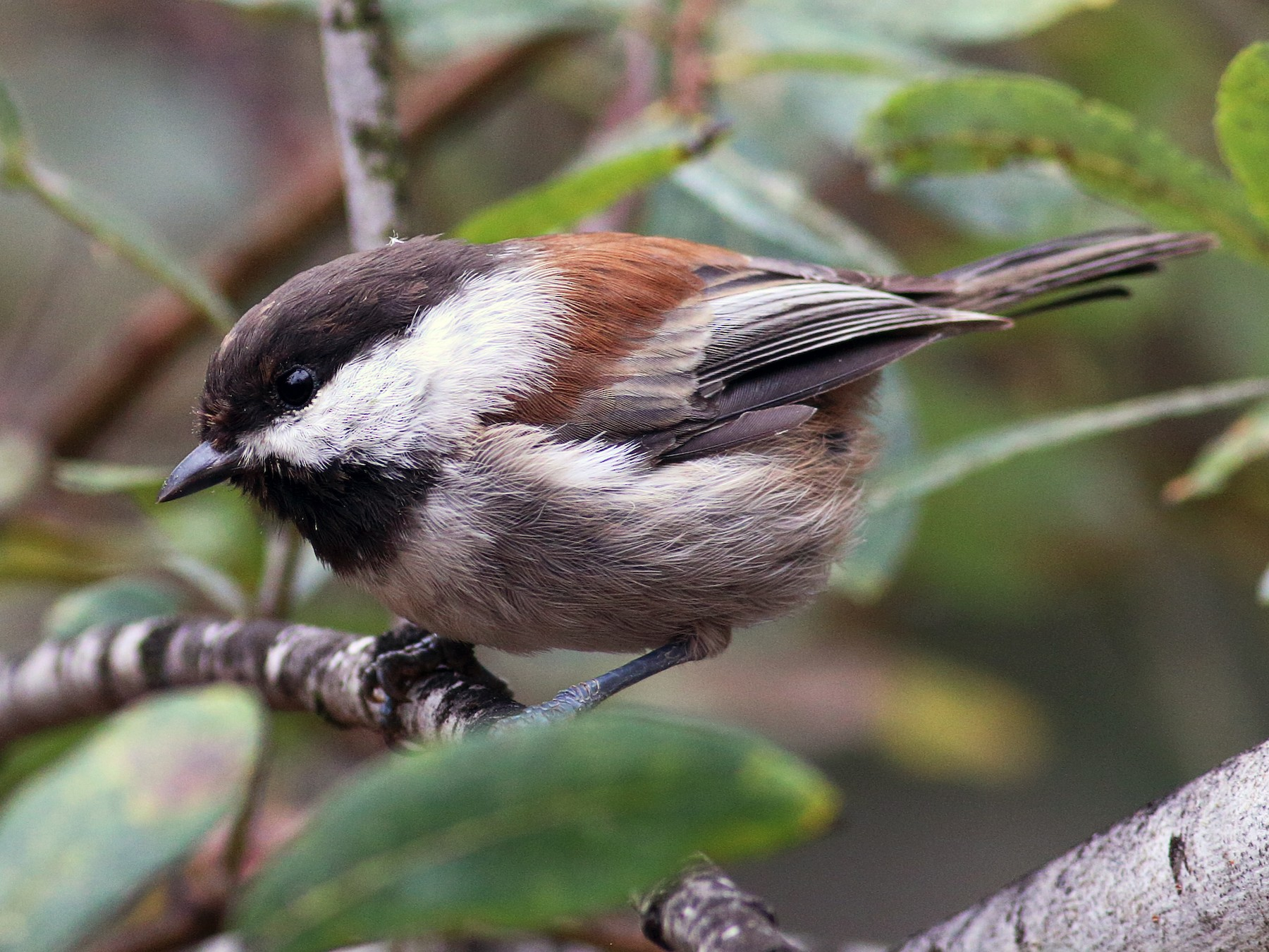 Chestnut-backed Chickadee - Paul Fenwick