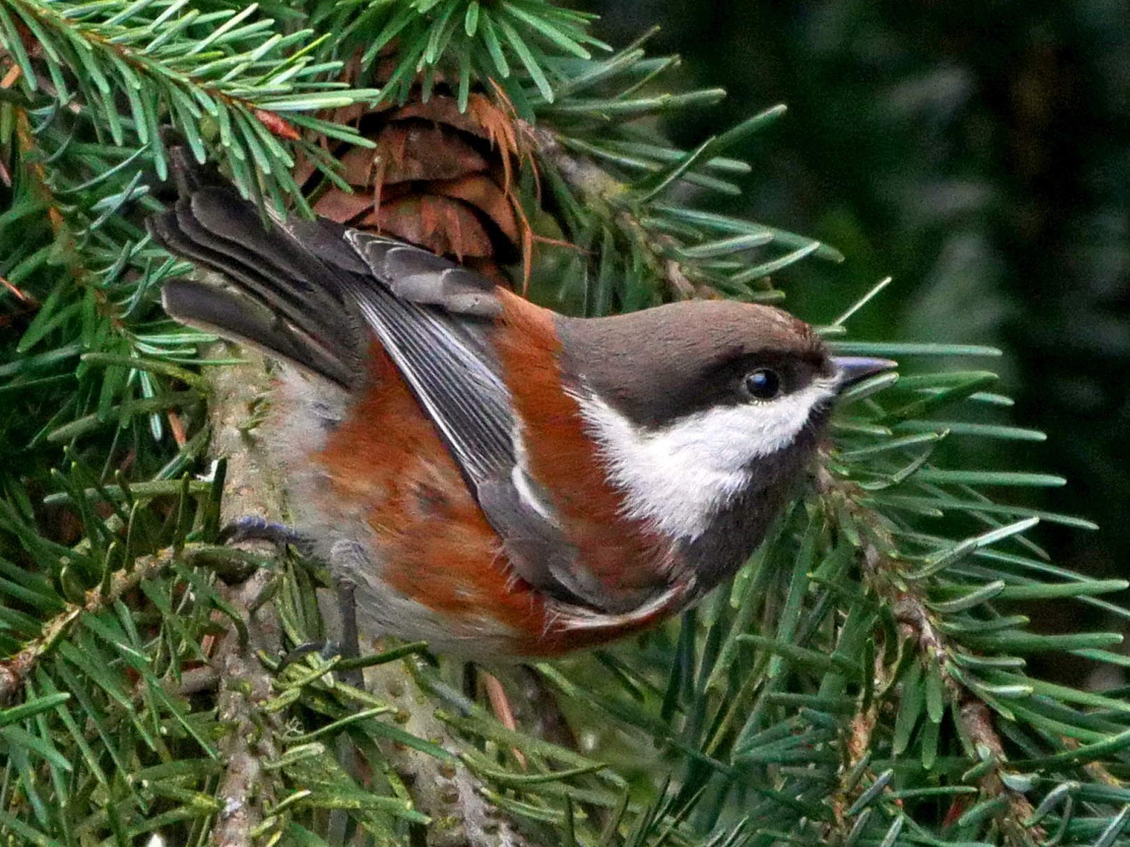 Chestnut-backed Chickadee - Grace Oliver