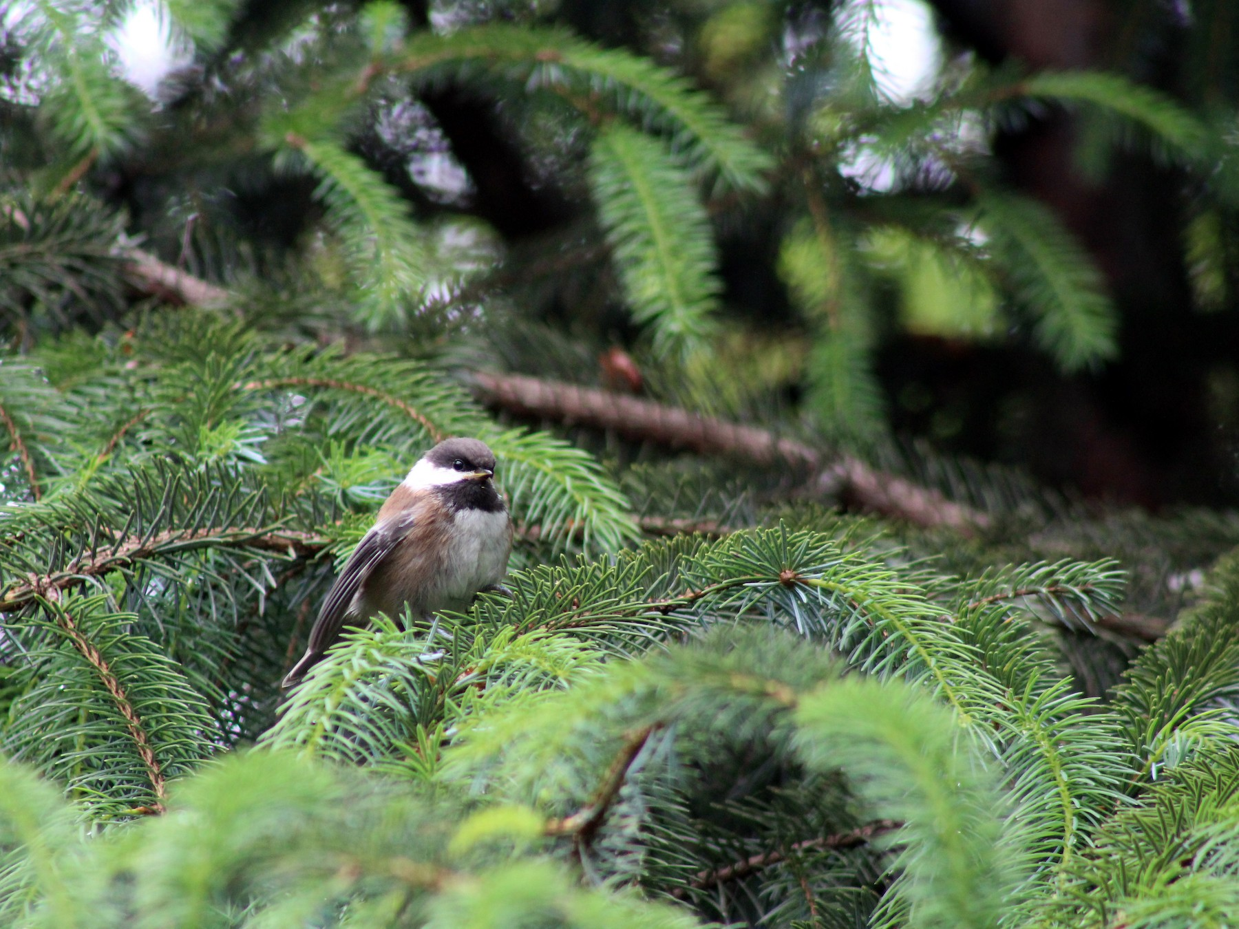 Chestnut-backed Chickadee - J Millsaps