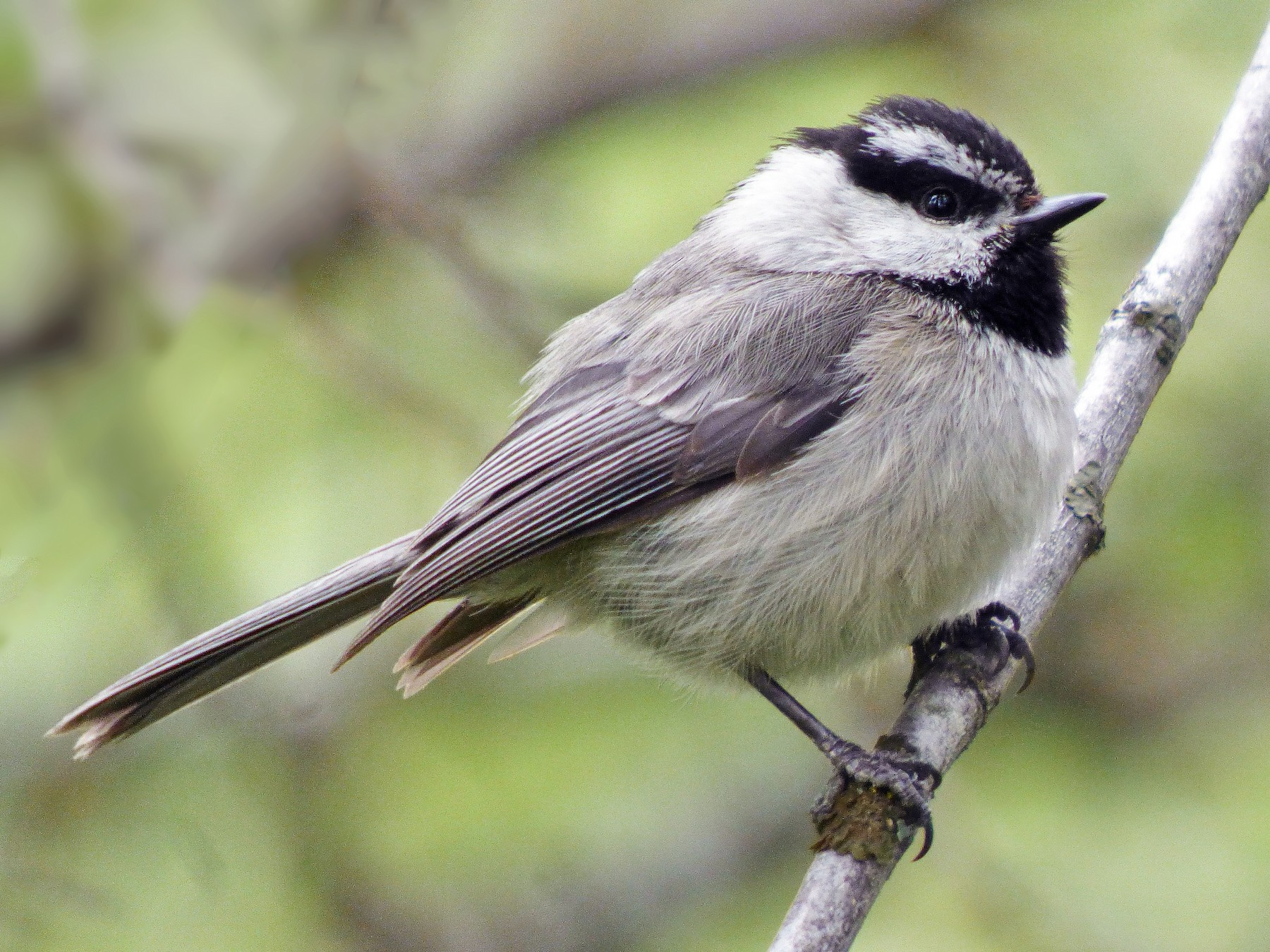 Mountain Chickadee - Craig Johnson