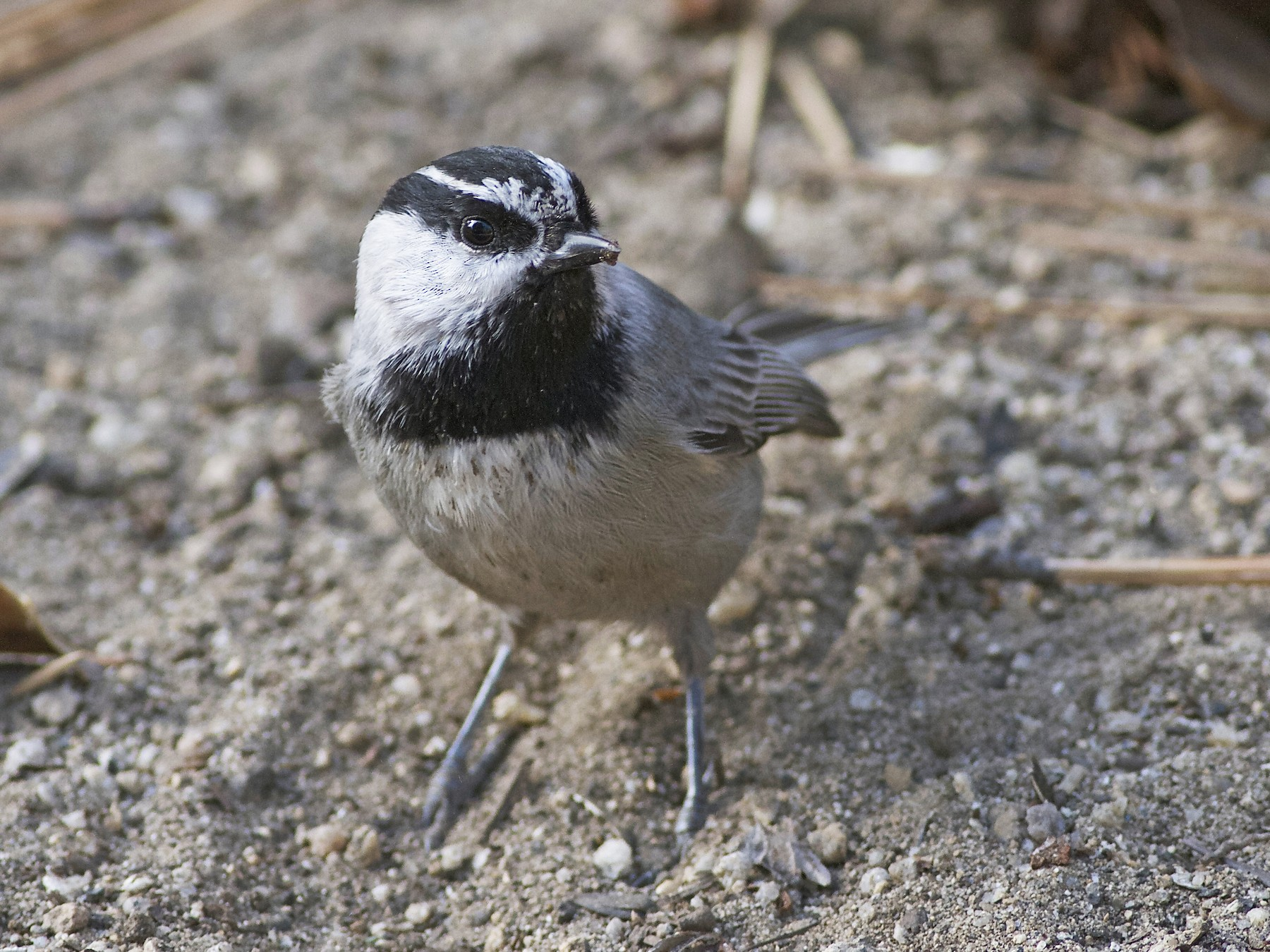 Mountain Chickadee - Marc North