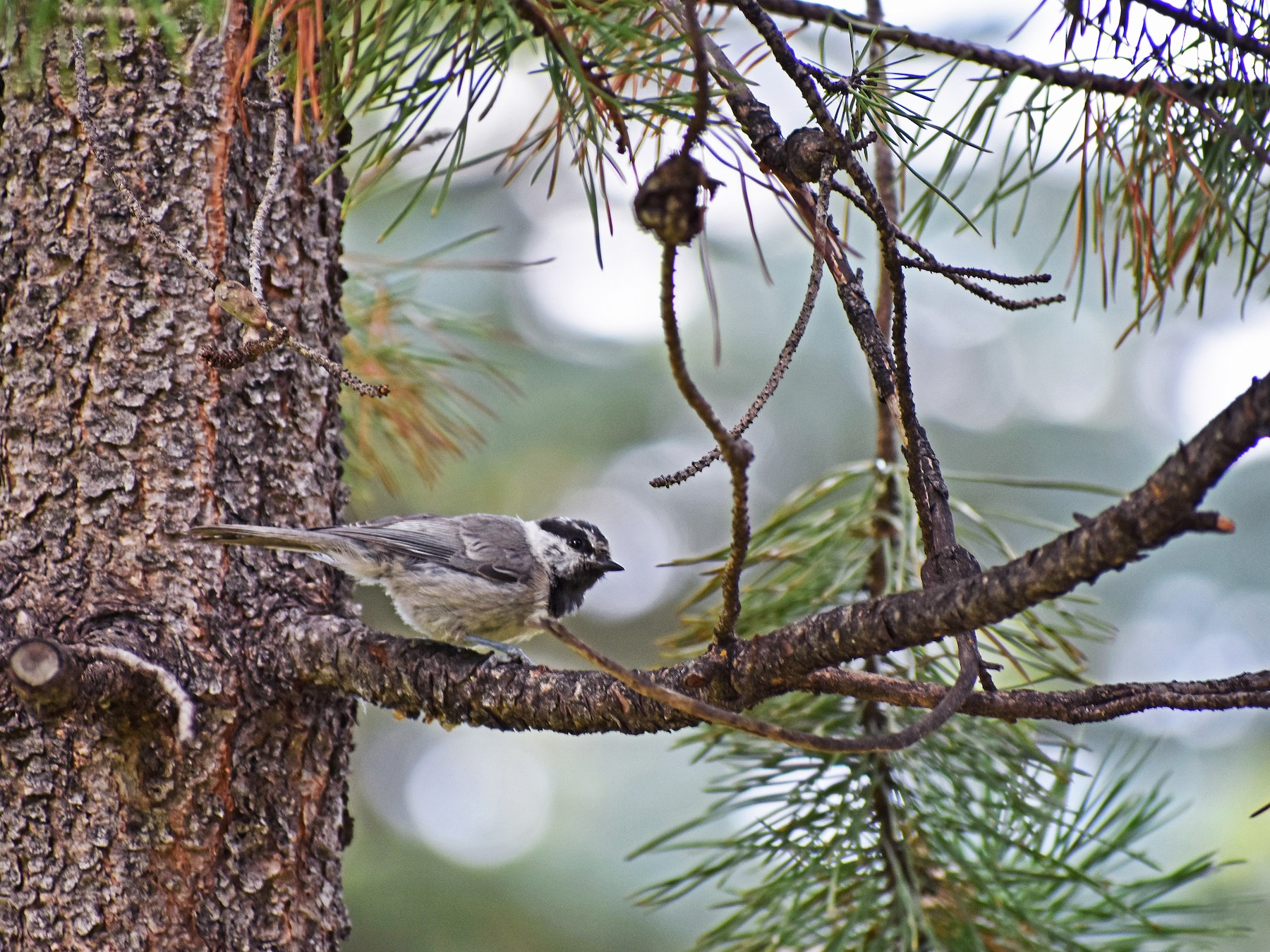 Mountain Chickadee - Ian Hearn
