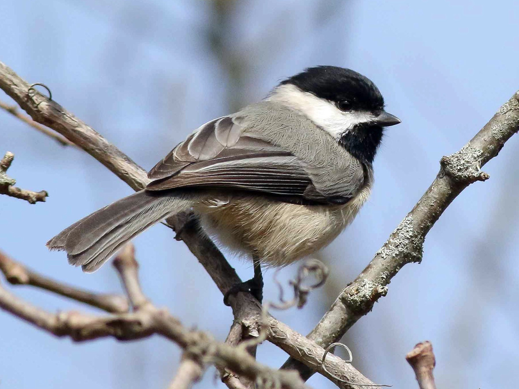 Carolina Chickadee - Michael O'Brien