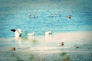 Snow Goose, ML68059341