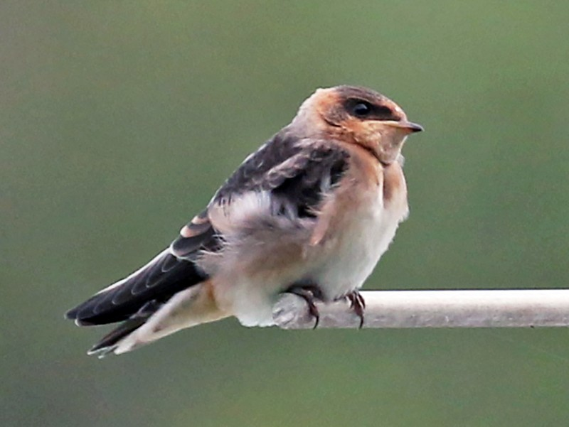 Cave Swallow - James Rieman