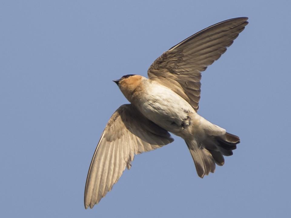 Cave Swallow - Joshua Covill