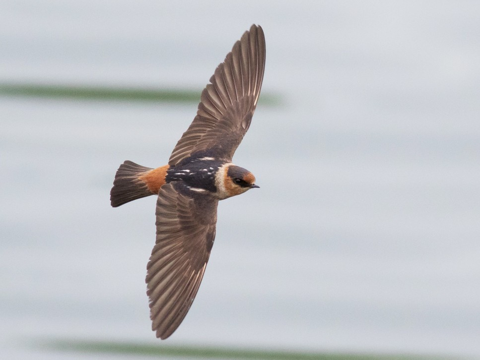 Cave Swallow - Tom Johnson
