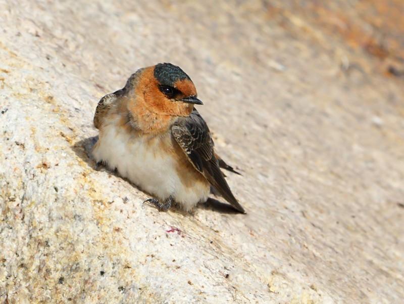 Cave Swallow - Len Medlock