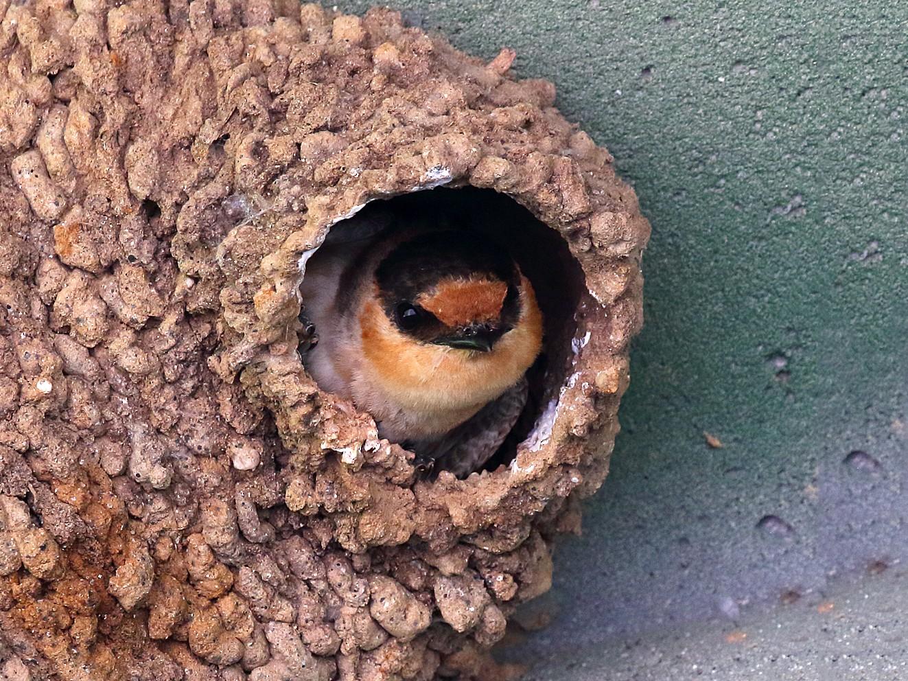 Cave Swallow - Dan Vickers