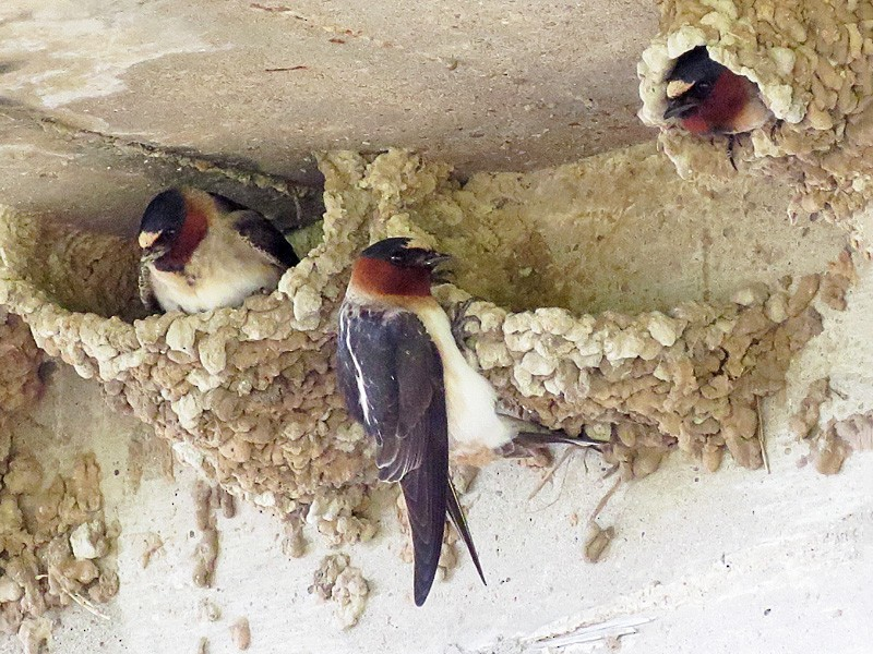 Cliff Swallow - Wendy Wright
