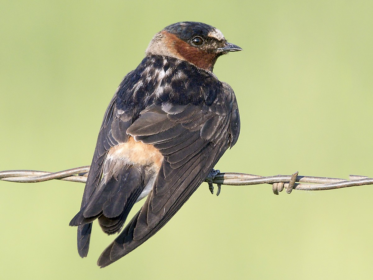 Cliff Swallow - Brian Peterson