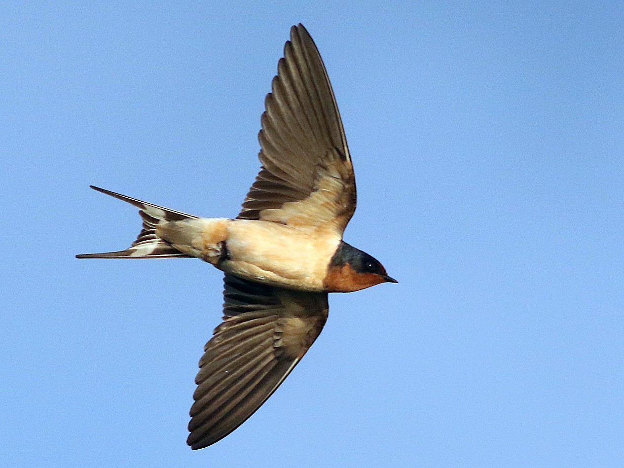Barn Swallow - Andrew  Dreelin