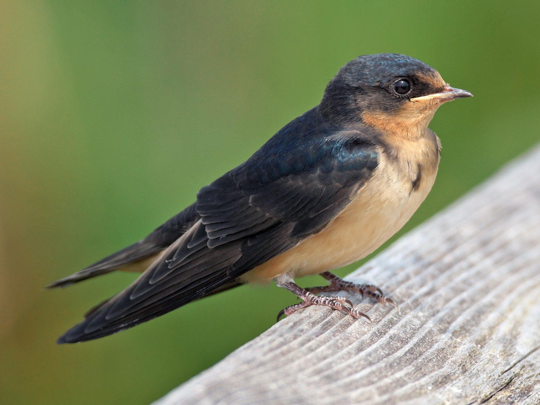 Barn Swallow - Paul Tavares