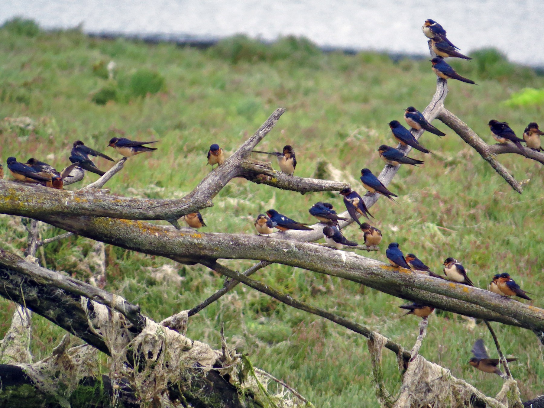 Barn Swallow - George Gerdts