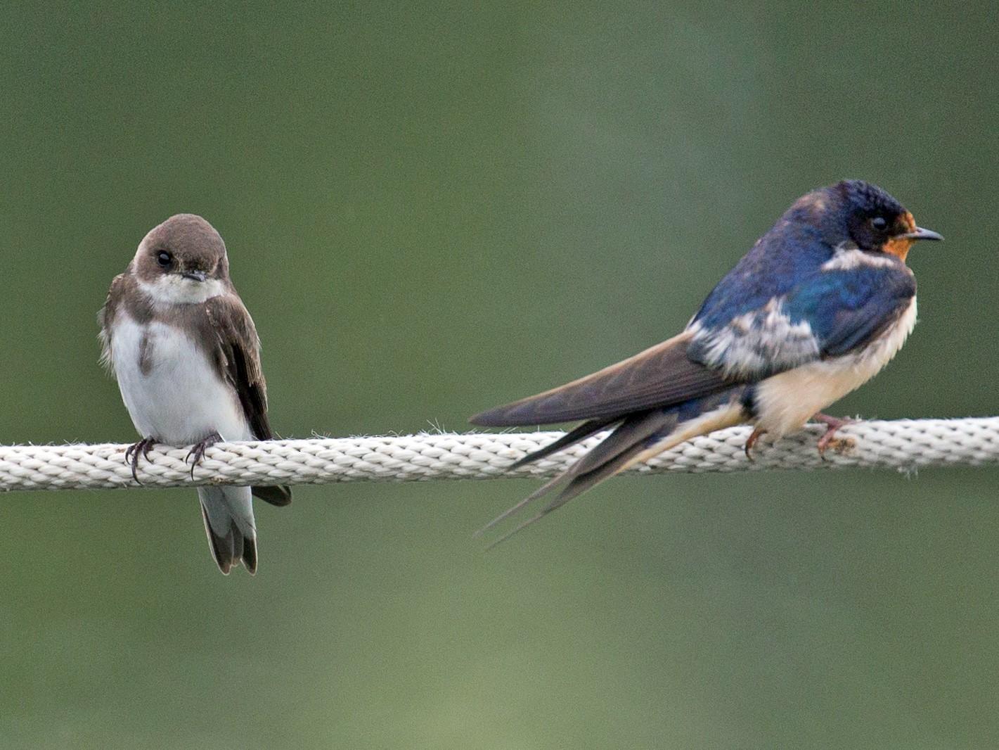 Bank Swallow - David Disher