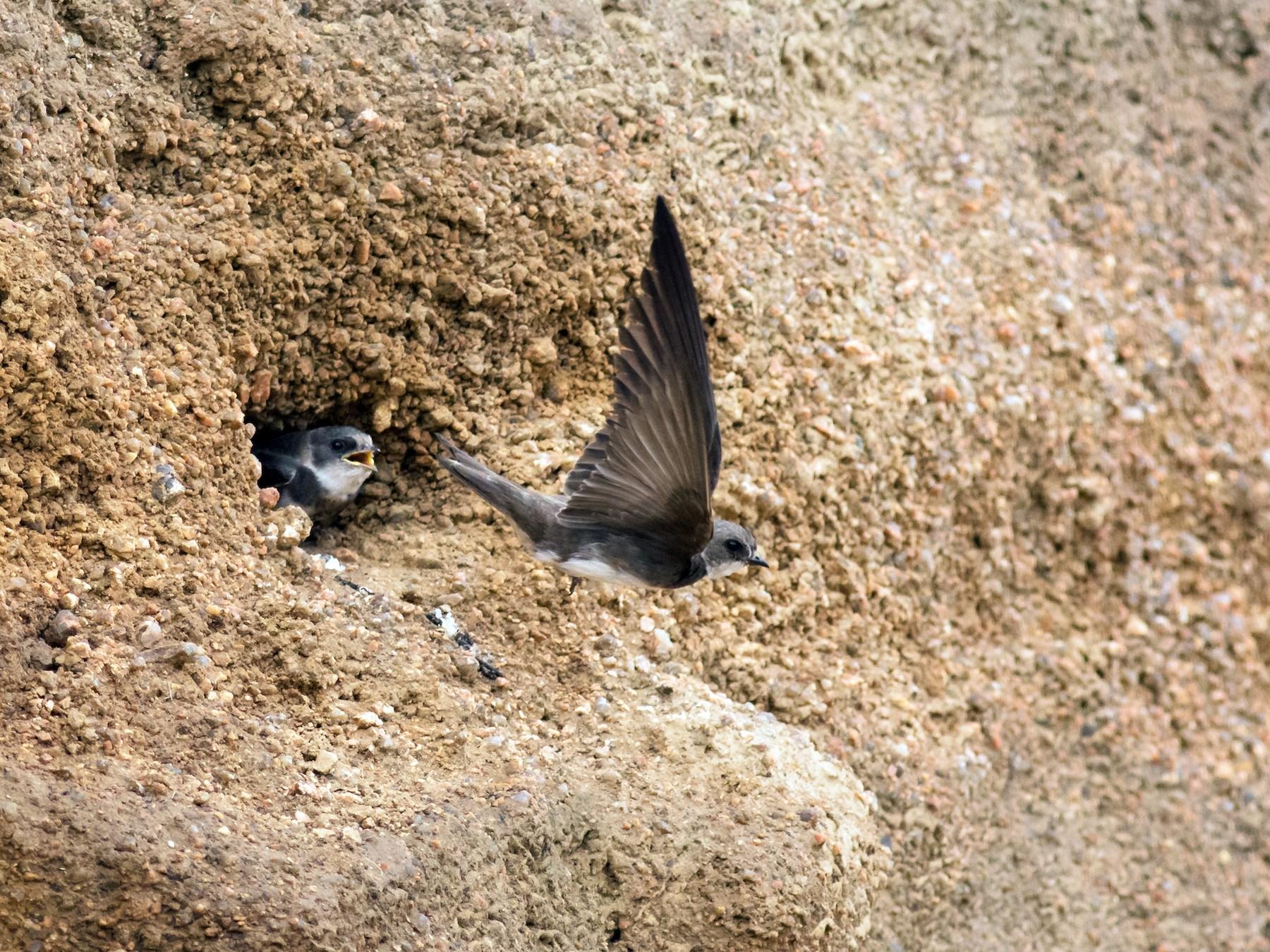 Bank Swallow - Oliver Burton