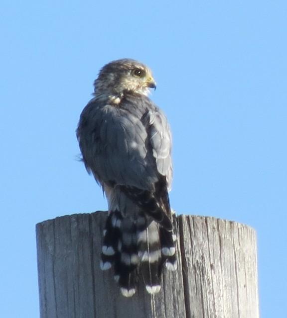 Merlin (Prairie)