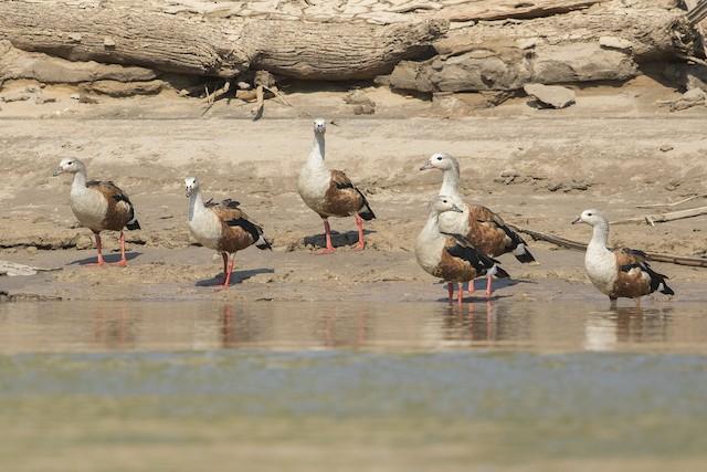 Orinoco Goose