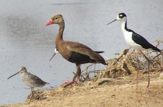 Black-bellied Whistling-Duck, ML68211901