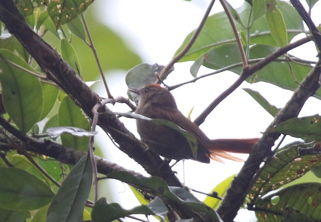 Ash-browed Spinetail