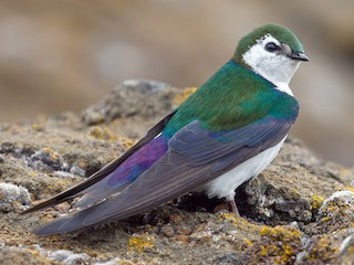 - Violet-green Swallow
