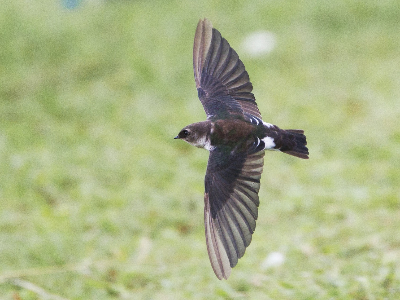 Violet-green Swallow - Brian Sullivan