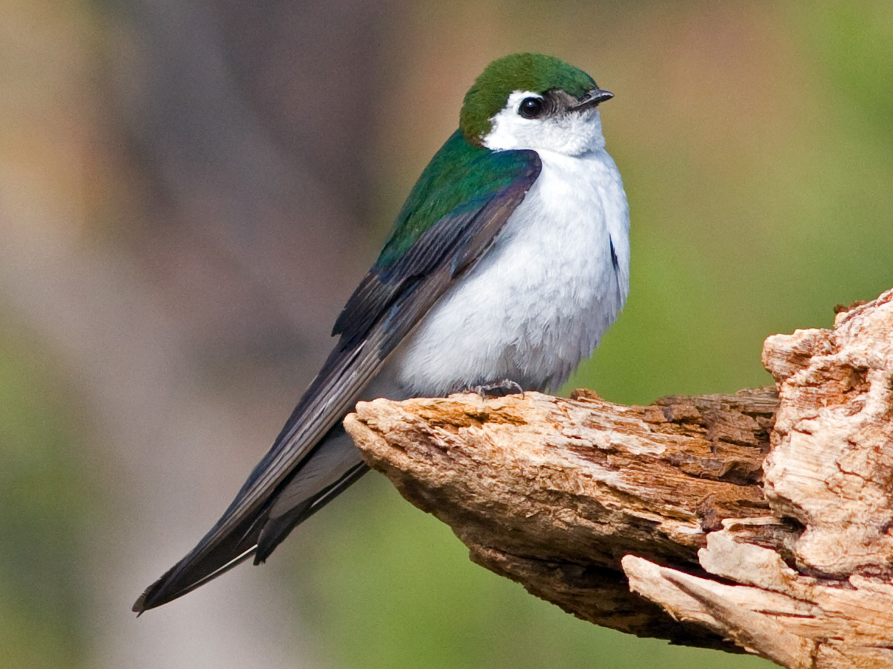 Violet-green Swallow - David Disher