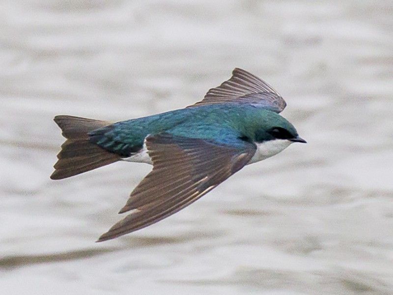 Tree Swallow - Phil McNeil