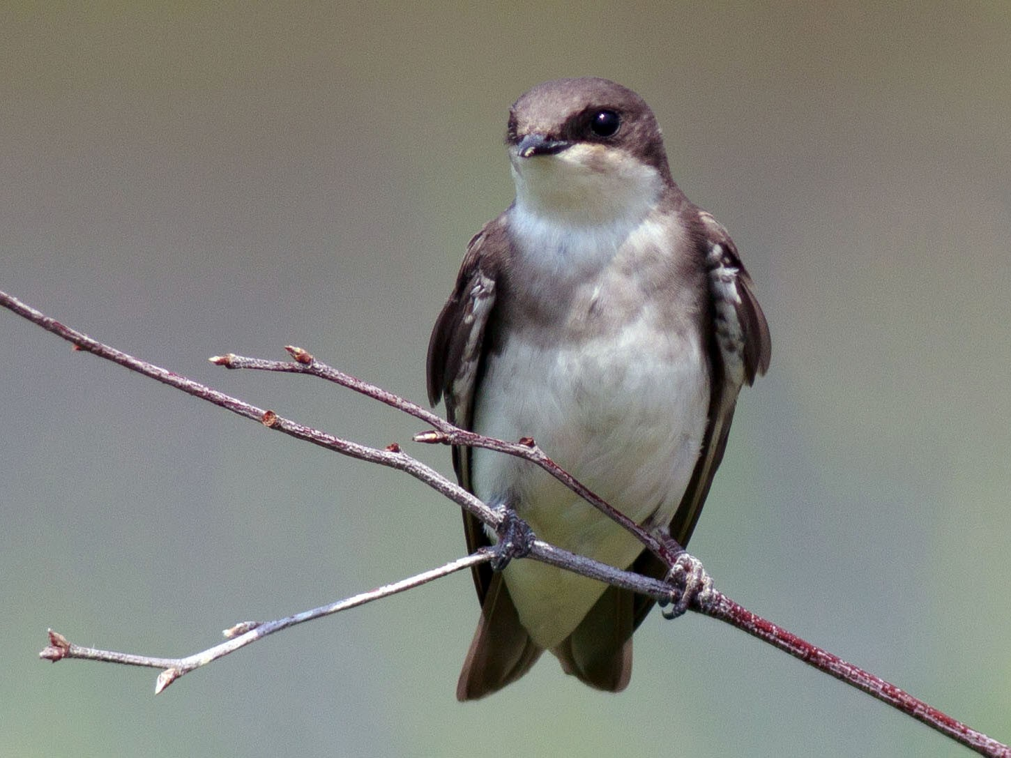Tree Swallow - Andrew Aldrich