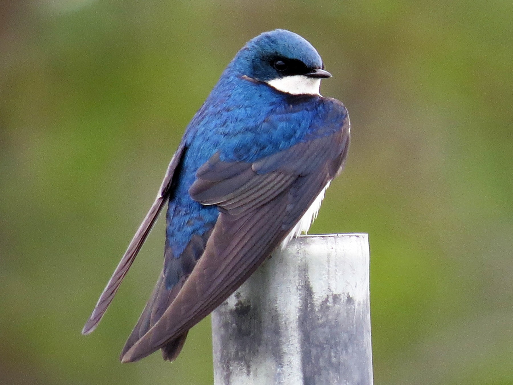 Tree Swallow - Ian Hearn