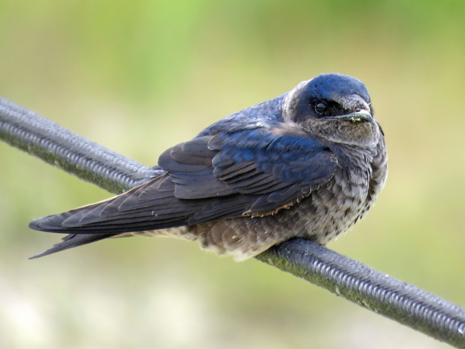 Purple Martin - Teresa Pegan 🦋