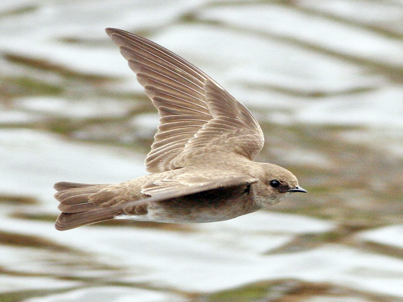 Northern Rough-winged Swallow - Kyle Lima