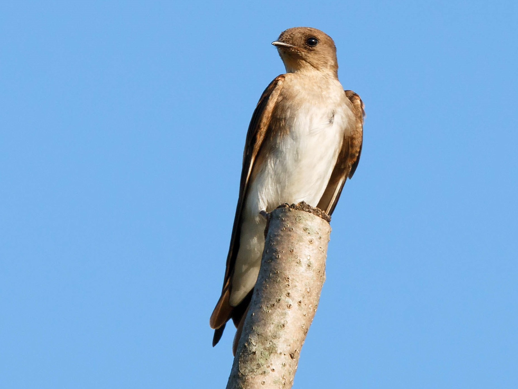 Northern Rough-winged Swallow - Simon Best