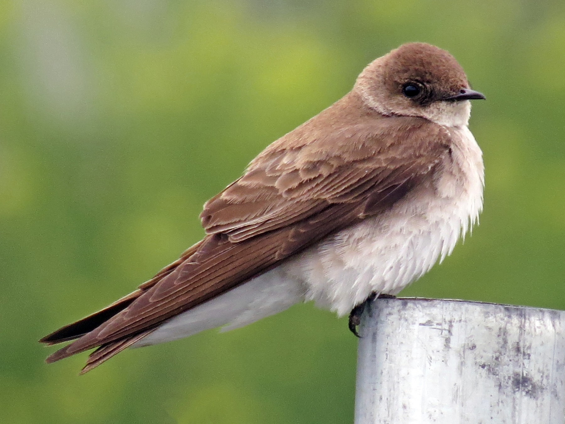Northern Rough-winged Swallow - Ian Hearn