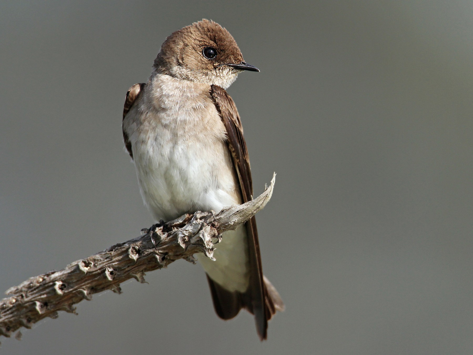 Northern Rough-winged Swallow - Luke Seitz