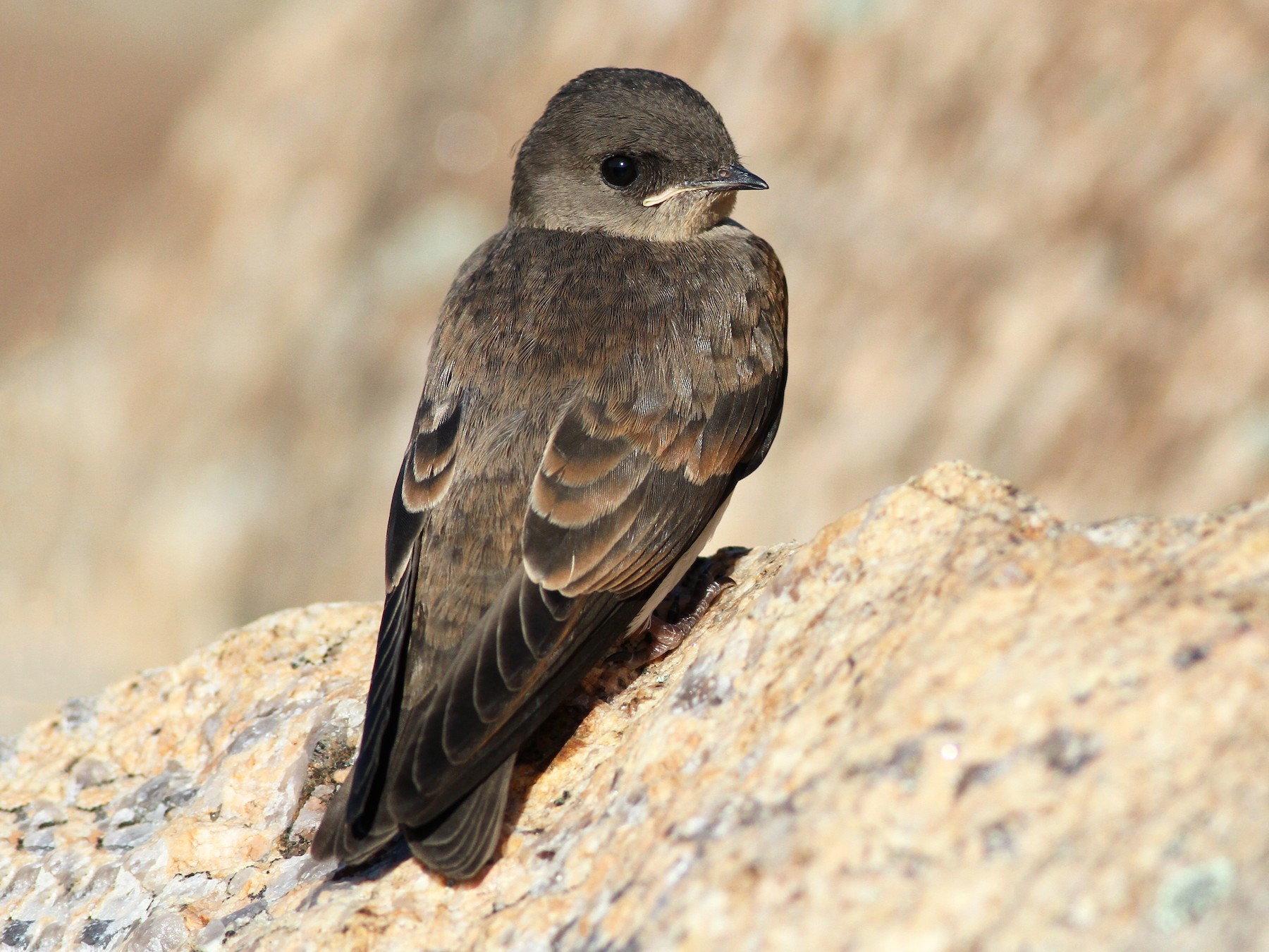 Northern Rough-winged Swallow - Evan Lipton