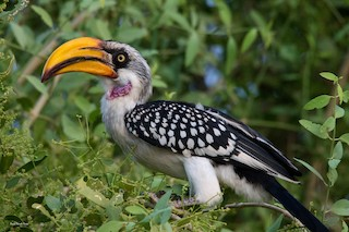 - Eastern Yellow-billed Hornbill