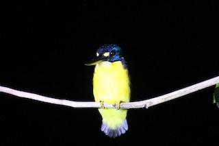 - North Solomons Dwarf-Kingfisher