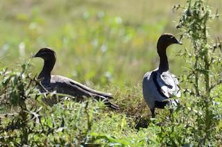 Maned Duck, ML68457381