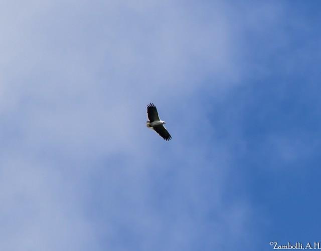 Mantled Hawk
