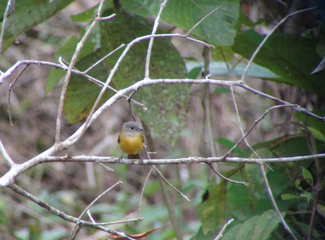 Yellow-crested Tanager