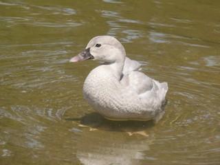 Black-bellied Whistling-Duck, ML68661031