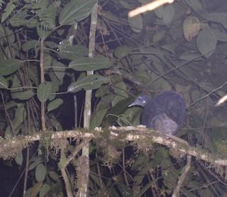 Black Tinamou, ML68691141