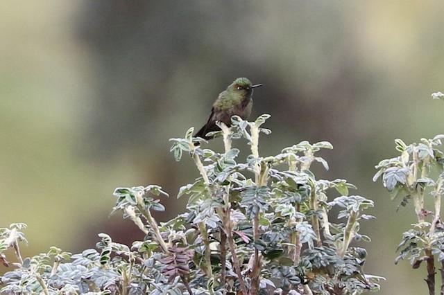 Bronze-tailed Thornbill