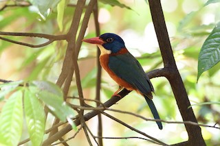 - Green-backed Kingfisher