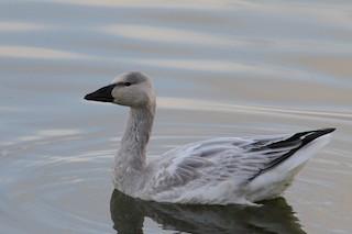Snow Goose, ML68818291